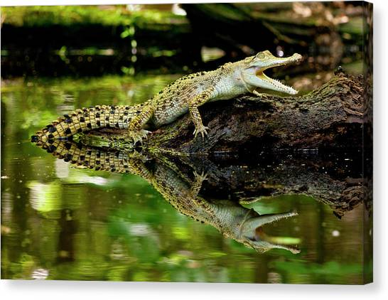 Crocodiles Canvas Print - Salt Water Crocodile, Crocodylus by David Northcott