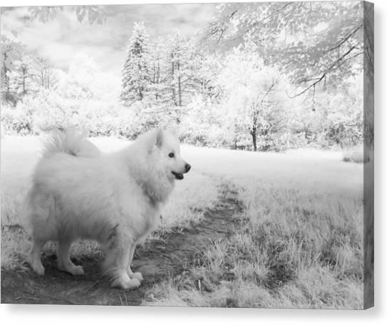 Samoyed In Ir Canvas Print by Eric Peterson