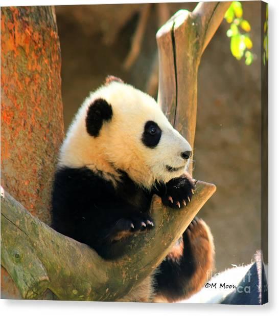 San Diego Zoo Panda Bear Xiao Liwu Canvas Print