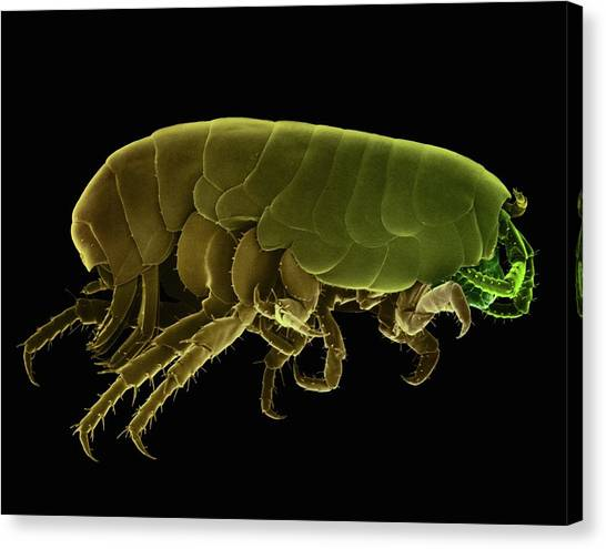 Fleas Canvas Print - Sand Flea (orchestia Agilis) by Dennis Kunkel Microscopy/science Photo Library