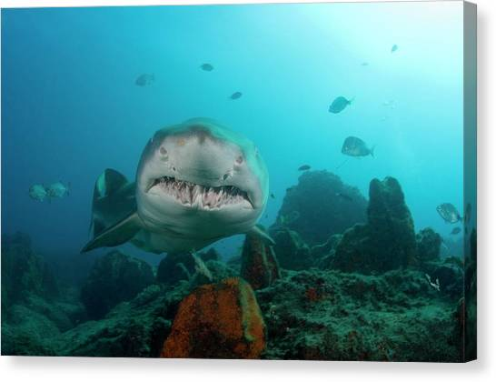 Tiger Sharks Canvas Print - Sand Tiger Shark by Scubazoo/science Photo Library