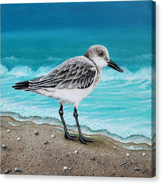 Sanderling Canvas Print