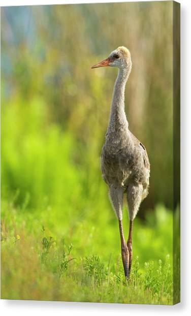 Sandhill Crane Canvas Print - Sandhill Crane Chick, Grus Canadensis by Maresa Pryor
