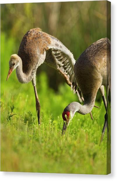 Sandhill Crane Canvas Print - Sandhill Crane Chick Stretching by Maresa Pryor