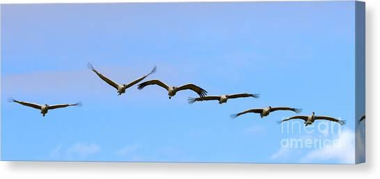 Sandhill Crane Canvas Print - Sandhill Crane Flight Pattern by Mike Dawson