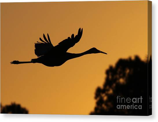 Sandhill Crane In Flight Canvas Print