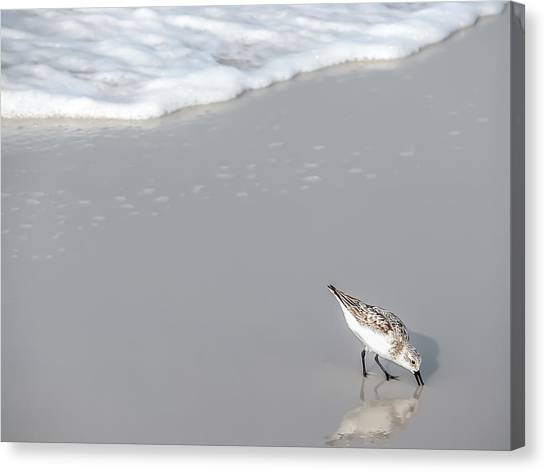 Sandpiper Canvas Print by CarolLMiller Photography