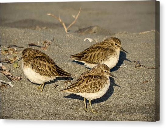 Canvas Print featuring the photograph Sandpiper Days by Jon Exley