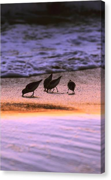 Sandpiper Morning Canvas Print