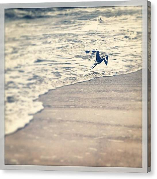 Sandpipers Canvas Print - Sandpiper On #eastbeach #bhi by M Wilson