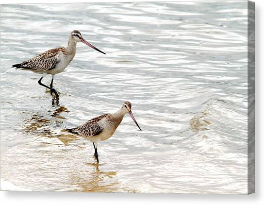 Sandpipers Foraging Canvas Print