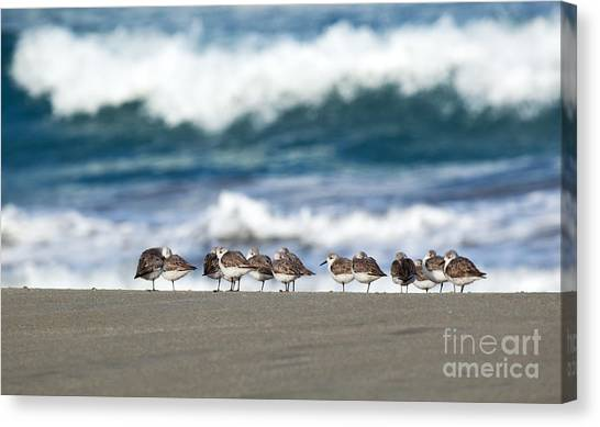 Sandpipers Keeping Warm On A Very Cold Day At The Beach Canvas Print