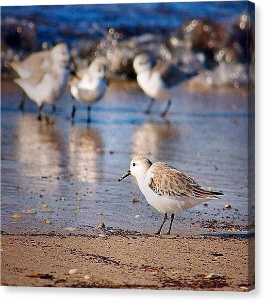 Sandpipers Canvas Print - Sandpipers #sandpipers by Fred Lambert
