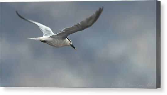 Sea Birds Canvas Print - Sandwich Tern by Aaron Blaise