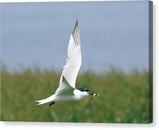 Sandwich Canvas Print - Sandwich Tern by John Devries/science Photo Library