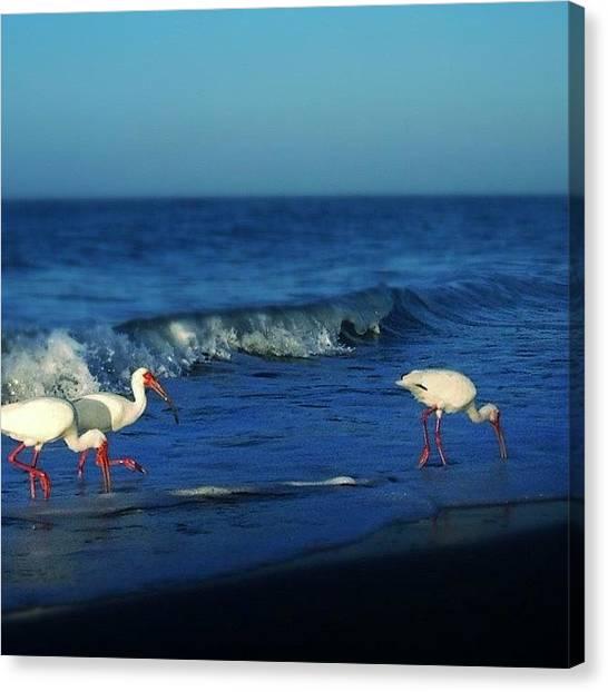 Ibis Canvas Print - #sanibel #island #florida #ibis #summer by Susan Scherr