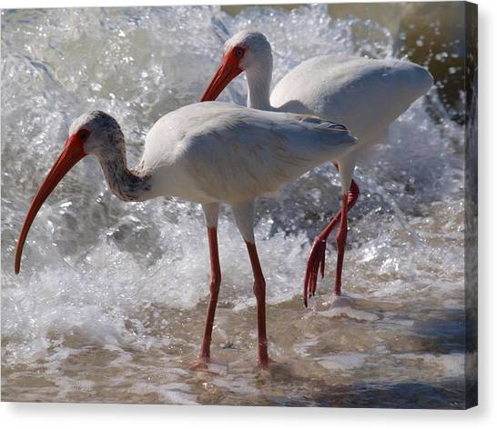 Sanibel White Ibis Canvas Print