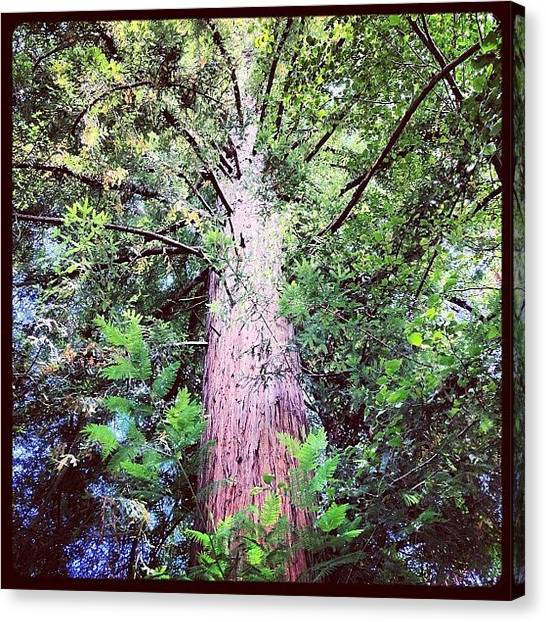 Redwood Forest Canvas Print - #santacruz #redwood #river #forest #love by Kenneth Van Doren