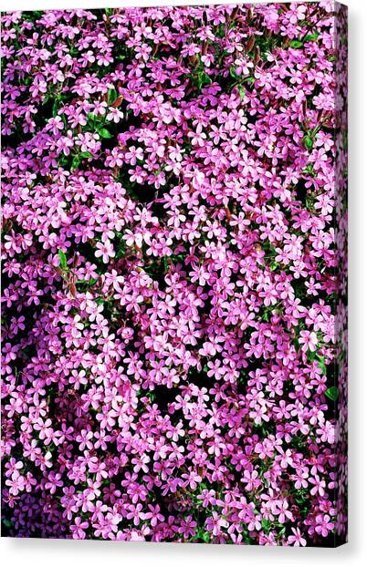 Tumbling Canvas Print - Saponaria Ocymoides by Geoff Kidd/science Photo Library