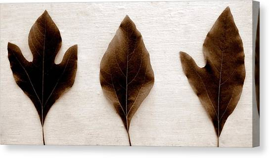 Sassafras Leaves In Sepia Canvas Print