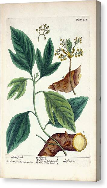 Sassafras Plant Canvas Print by National Library Of Medicine