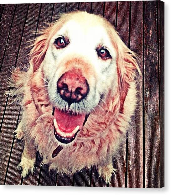 Golden Retrievers Canvas Print - Sassy Girl #puppy #dog #labrador by Emily Hames