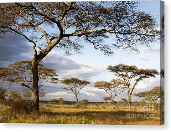 Savanna Acacia Trees  Canvas Print