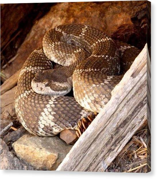 Rattlesnakes Canvas Print - Saw Another One Of These Yesterday But by John Wagner