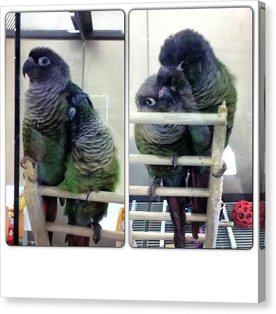 Lovebirds Canvas Print - Saw These Two Cute Birds At Petco by Hunterraie Wright