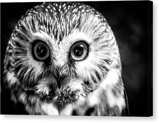 Saw-wet Owl Canvas Print