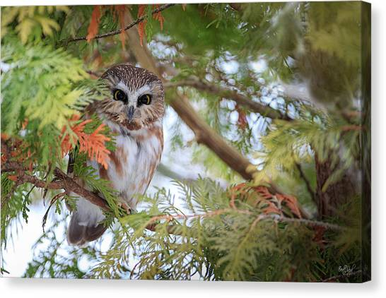 Saws Canvas Print - Saw-whet Owl by Everet Regal