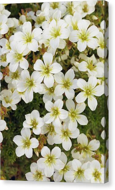 Saxifraga 'white Star' Canvas Print by Geoff Kidd/science Photo Library