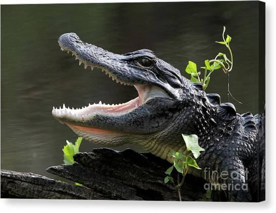 Say Aah - American Alligator Canvas Print
