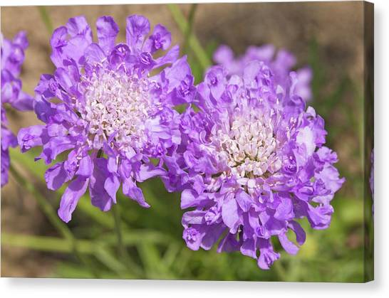 Pincushions Canvas Print - Scabiosa 'butterfly Blue' Flowers by Ann Pickford