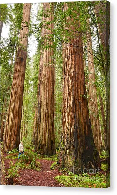 Redwood Forest Canvas Print - Scale - The Beautiful And Massive Giant Redwoods Sequoia Sempervirens In Redwood National Park. by Jamie Pham