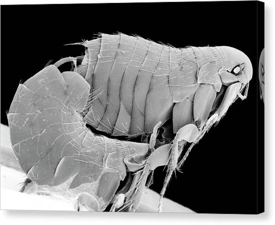 Fleas Canvas Print - Scanning Electron Micrograph Of Bird Fleas Mating by K. H. Kjeldsen/science Photo Library