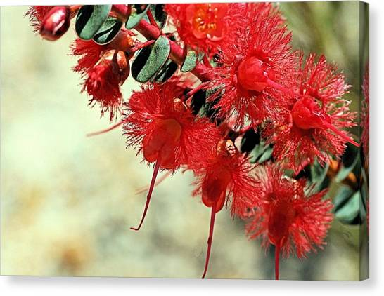 Canvas Print featuring the photograph Scarlet Feather Flowers by David Rich