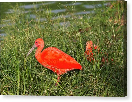Ibis Canvas Print - Scarlet Ibis (eudocimus Ruber by Keren Su