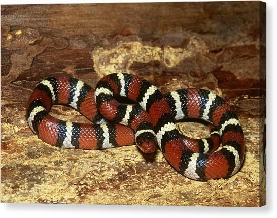 Coral Snakes Canvas Print - Scarlet Kingsnake by Jeffrey Lepore
