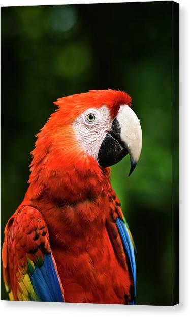 Macaw Canvas Print - Scarlet Macaw Ara Macao, Xcaret Eco by Guylain Doyle