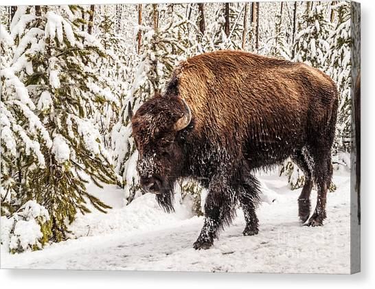 Scary Bison Canvas Print