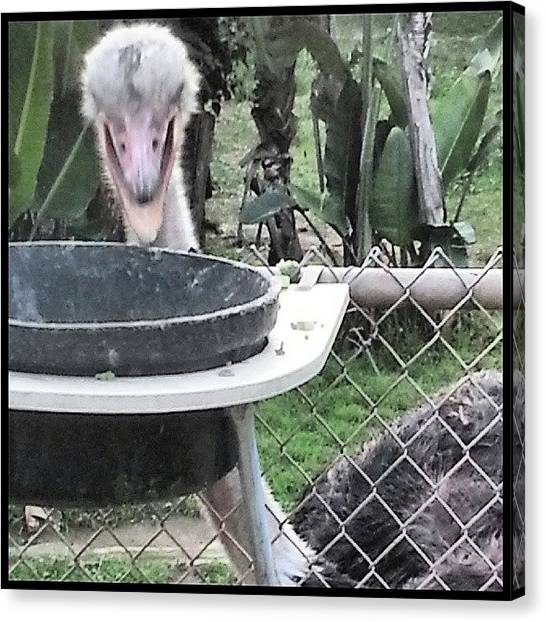 Ostriches Canvas Print - Scenes From The Ark-- Dinner Time by Kevin Previtali