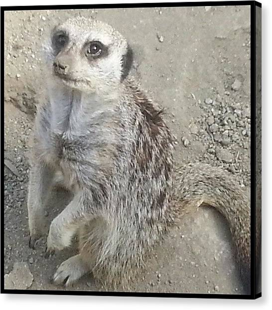 Meerkats Canvas Print - Scenes From The Ark-- Looking Cute For by Kevin Previtali