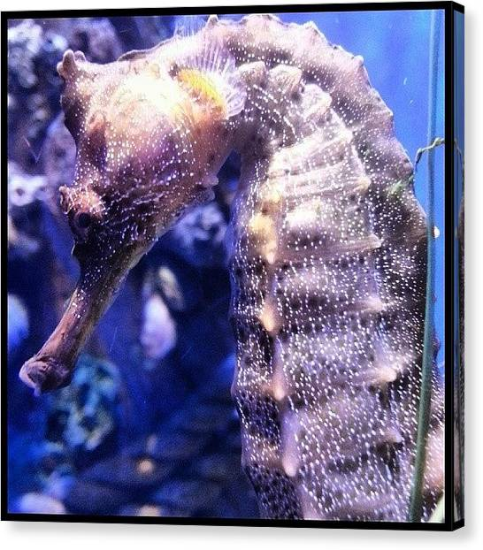 Seahorses Canvas Print - Scenes From The Ark-- Seahorse by Kevin Previtali