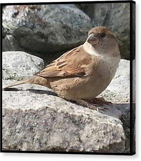 Sparrows Canvas Print - Scenes From The  Nest-- Freebird by Kevin Previtali