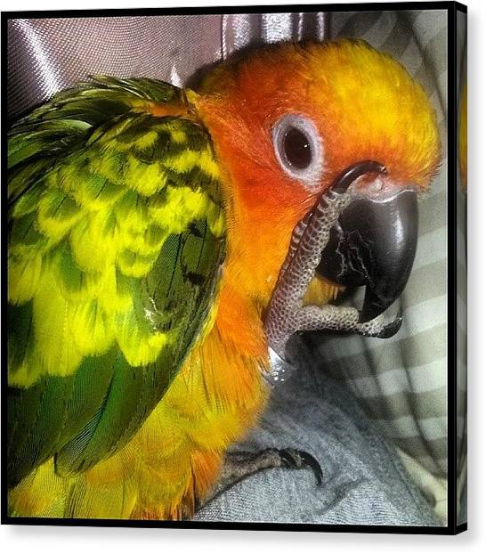Parrots Canvas Print - Scenes From The Nest-- No Photos Please by Kevin Previtali