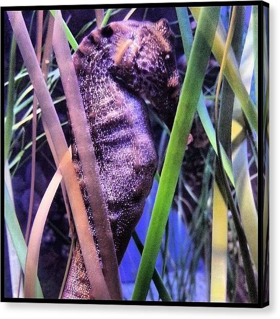 Seahorses Canvas Print - Scenes From The Pool-- Sleeping by Kevin Previtali