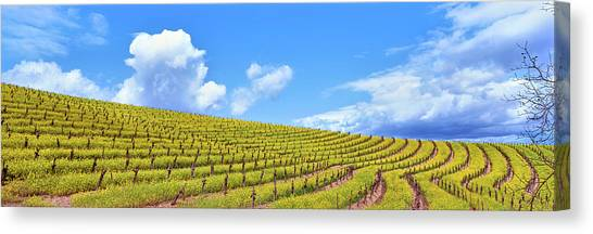 Vineyard In Napa Canvas Print - Scenic View Of Vineyard In Springtime by Panoramic Images