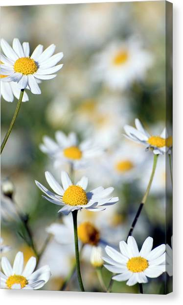 Scentless Mayweed (matricaria Maritima) Canvas Print by Dr. John Brackenbury/science Photo Library