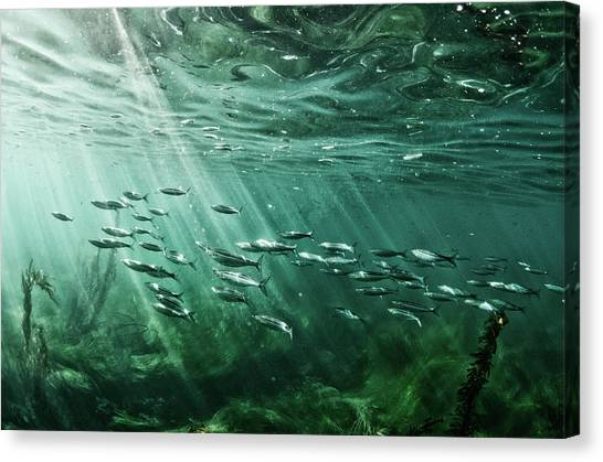 School Of Fish Swim In The Pacific Ocean Canvas Print by Ashleywiley